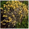Helichrysum Italicum (Immortelle)