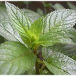 Mentha Piperita (Peppermint) Leaf